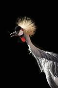 South African Grey Crowned Crane Kaanapali Maui Hawaii Print by Sharon Mau
