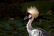 South African Prints - South African Grey Crowned Crane Print by Sharon Mau