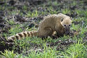 South American Prints - South American Coati Foraging Print by Tony Camacho