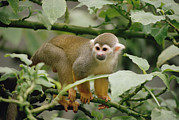 Squirrel Monkey Prints - South American Squirrel Monkey Saimiri Print by Gerry Ellis