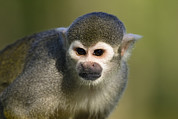 Squirrel Monkey Prints - South American Squirrel Monkey Saimiri Print by Konrad Wothe