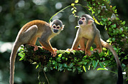 Primates Photos - South American Squirrel Monkey Saimiri by Thomas Marent