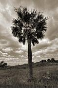 Sepia Acrylic Prints - South Carolina Palmetto Palm Tree by Dustin K Ryan