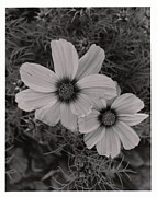 Juls Adams Framed Prints - South Fork Cosmos Framed Print by Juls Adams