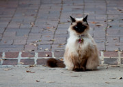 Siamese Photo Prints - South of Broad Alley Cat with Attitude Print by Melissa Wyatt