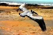 South Padre Island Texas Posters - South Padre Pelican Poster by Laurie Prentice