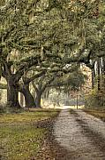 Oak Trees Framed Prints - Southern Drive Live Oaks and Spanish Moss Framed Print by Dustin K Ryan