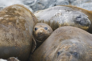 Funny Southern Photo Framed Prints - Southern Elephant Seal Group Antarctica Framed Print by Flip Nicklin