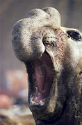 Growling Art - Southern Elephant Seal Roaring by Peter Scoones