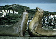 Predators Photo Posters - Southern Elephant Seals Poster by Peter Scoones