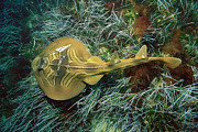 Ai Prints - Southern Fiddler Ray Trygonorrhina Print by Kevin Deacon