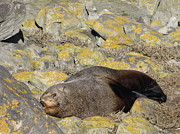 Stephanie Olsavsky - Southern Fur Seal