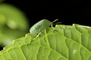 Stink Bug Posters - Southern Green Stink Bug camouflaged on a green leaf Poster by Sami Sarkis