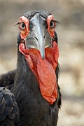 Wattle Framed Prints - Southern Ground Hornbill Framed Print by Peter Chadwick