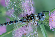 Arthropod Photos - Southern Hawker Dragonfly Aeshna Cyanea by Tim Fitzharris
