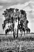 Cypress Swamps Framed Prints - Southern in Black and White Framed Print by JC Findley