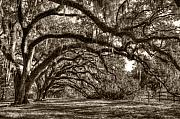Live Oak Tree Prints - Southern Live Oaks with Spanish Moss Print by Dustin K Ryan