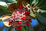 Seedpod Prints - Southern Magnolia Print by Carolyn Marshall