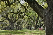 Oaks Framed Prints - Southern Oak Alley Framed Print by Kathy Ricca