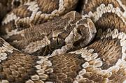 State Of California Prints - Southern Pacific Rattlesnake, Crotalus Print by Jack Goldfarb