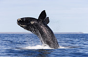 Southern Province Metal Prints - Southern Right Whale Metal Print by Francois Gohier and Photo Researchers