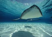 Stingrays Posters - Southern Stingray Dasyatis Americana Poster by Bill Curtsinger