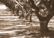 Tree Roots Photo Posters - Southern Sunlight on Live Oaks Poster by Carol Groenen