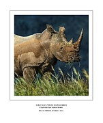 Rhinoceros Digital Art Framed Prints - Southern White Rhino Framed Print by Owen Bell