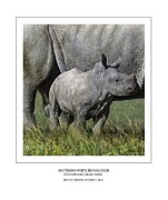 Calf Digital Art - SOUTHERN WHITE RHINOCEROS CALF Ceratotherium simum simum by Owen Bell