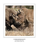 Rhinoceros Digital Art Framed Prints - Southern White Rhinos Jousting Framed Print by Owen Bell