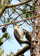Pretty Colored Bird Photos - Southern Woodpecker by Debra     Vatalaro