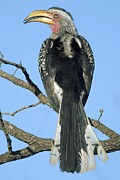 Hornbill Photos - Southern Yellow-billed Hornbill by Peter Chadwick