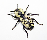 Southwestern Ironclad Beetle Print by Bill Morgenstern