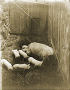 Early Photography Originals - Sow and Piglets by Jan Faul