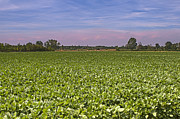Soybean Prints - Soybean Field Print by Paolo Negri