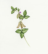 Ripened Fruit Prints - Soybean (glycine Max) Print by Lizzie Harper