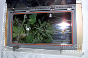 Destiny Metal Prints - Soybean Plant Growth Experiment, Iss Metal Print by Nasa