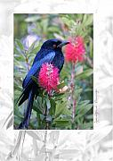Spangled Framed Prints - Spangled Drongo Framed Print by Holly Kempe