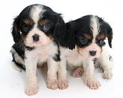 Spaniel Puppies Print by Jane Burton