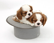 Sleeping Baby Animal Posters - Spaniel Pups In Top Hat Poster by Mark Taylor