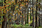 Big Cypress Bayou Photos - Spanish Autumn by Lana Trussell