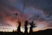 Bayonet Photos - Spanish Bayonet Yucca Plants by Annie Griffiths
