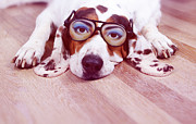 Dog Lying Down Prints - Spanish Hound Dog Lying With Joke Glasses Print by Retales Botijero