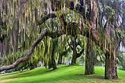Tree. Oak Framed Prints - Spanish Moss Framed Print by Debra and Dave Vanderlaan