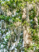 Moss Prints Prints Acrylic Prints - Spanish Moss Acrylic Print by Ester  Rogers