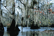 Bromeliad Plant Posters - Spanish Moss Hanging From The Branches Poster by Raymond Gehman
