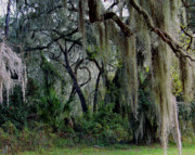 Palmettos Framed Prints - Spanish Moss II Framed Print by Robert Meanor