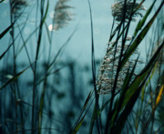 Sea Oats Prints - Sparkling Lights Print by Susanne Van Hulst