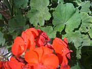 Red Geraniums Prints - Sparkly Leaves with Red Blooms Print by Barbara Plattenburg