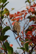 Free Spirit Photos - Sparrow 96 by Joyce StJames